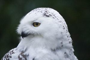 Perie sov snežných je prispôsobené na podmienky za polárnym kruhom.