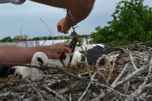 Ornitologický krúžok sa malým bocianom zakladá nad kĺb nohy.