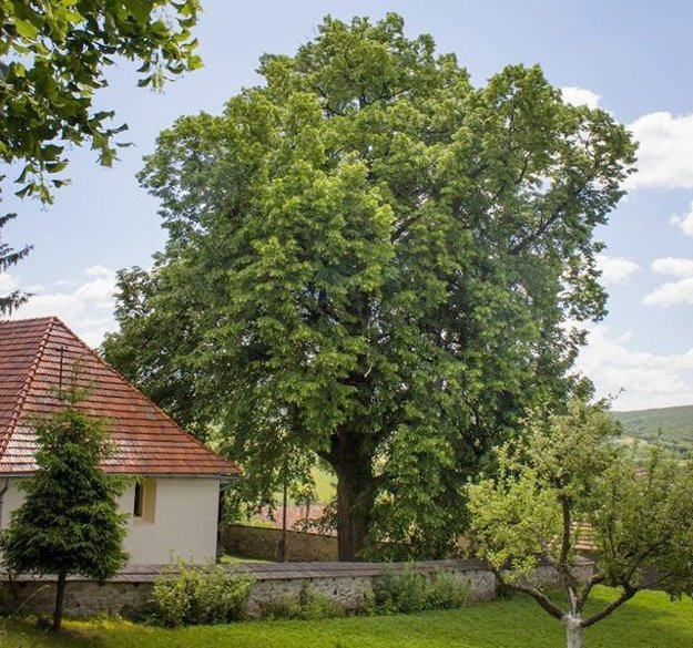 Lipa veľkolistá z Jabloňoviec má 235 rokov.