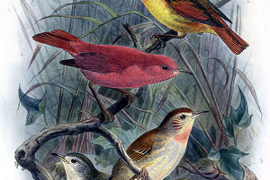 Kākāwahie, príbuzný vrabcov, žil iba na havaji. V roku 1963 ho prehlásili za vyhynutého. Vyhynul zrejme z rovnakých dôvodov ako iné havajské vtáky.