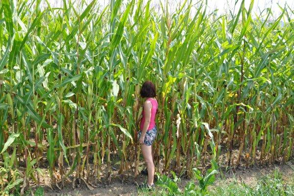 Človeka vtakejto veľkej kukurici zbadáte ťažko.
