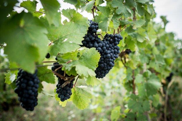 Svätovavrinecké hrozno, z ktorého sa vyrába červené a ružové víno.