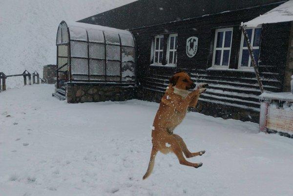Takto sa vo štvrtok tešil zo snehu na Zbojníckej chate aj jej verný štvornohý strážca Roman.