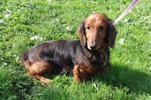 Ťapko je asi 8 – 10-ročný psík, jazvečík dlhosrstý, našiel sa vTurzovke, smerom na Semeteš. Má pokojnú povahu.