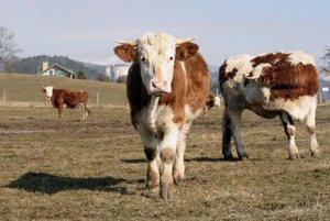 Počet dojníc podľa farmárov neustále klesá.