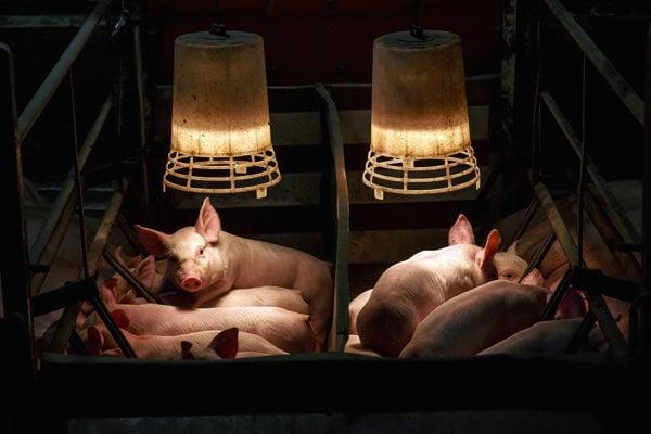 Ilustračné foto. Prasatá na farme pod ohrievačom.