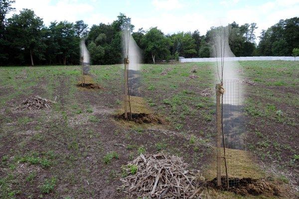 Takto by mali sadenice vyzerať.