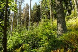 Takto vyzerá les, do ktorého nesmú lesníci zasahovať.