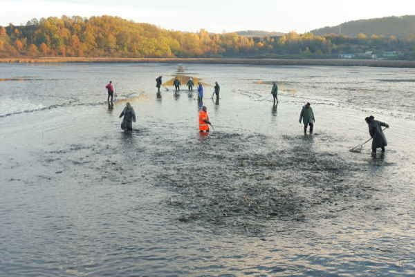 Zháňanie rýb z nádrže do odlovného bazéna.