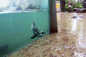 Zaplavená zoologická záhrada v Prahe. Tučniaci aj uškatce sú zatiaľ v bezpečí. (3. júna 2013) Autor: Tomáš Krist, MAFRA