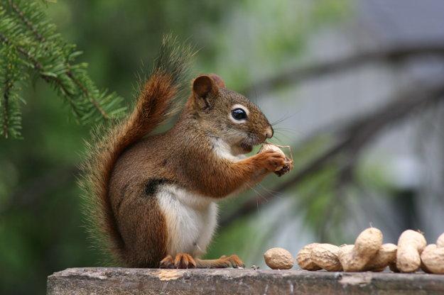 Veveričky ihličnatých lesoch sú skôr hnedé, než ryšavé. Nie je to však pravidlo.