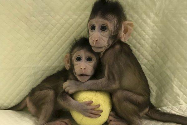 Klonované opičky Čung Čung a Chua Chua.