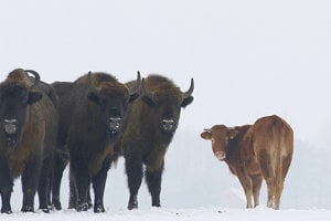 Zubry medzi seba kravu prijali. Na jar by im mohla priniesť problémy.
