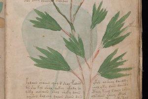 Vo Voynichovom rukopise je množstvo ilustrácií kvetov.