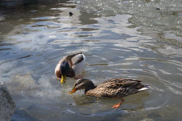 Sčítavali vodné vtáctvo.