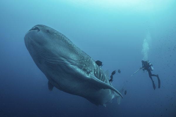 Potápači pri výskume žraloka veľrybieho pri ekvádorskom súostroví Galapágy.