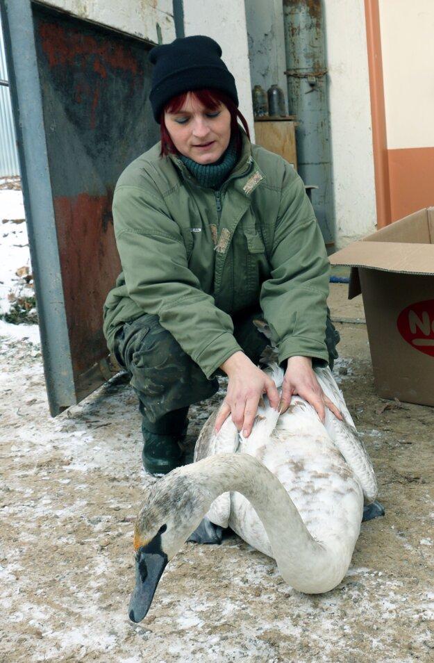 Ošetrovateľka zvierat bojnickej zoo Libuša Martinková so zachránenou labuťou.