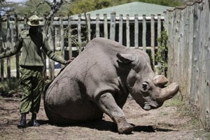 Nosorožec Sudan s ošetrovateľom v máji 2017.