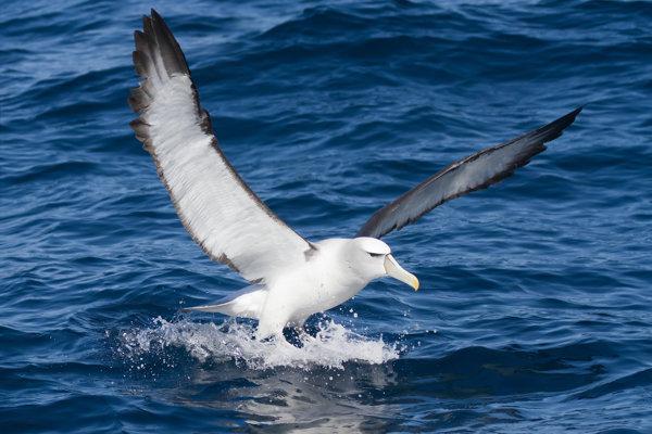 Albatrosy hniezdiace na Midwayských ostrovoch napádajú myši.