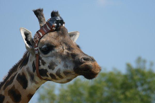 Žirafí samec Max.