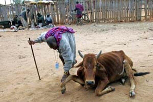 Muž z kmeňa Masajov vedie svoju podvyživenú a umierajúcu kravu na porážku.
