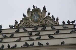 Holuby sedávajú na radnici najmä skoro ráno a podvečer.