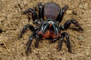 Pavúk z podradu vtáčkarov podobný tomu, akého objavili v Austrálii.