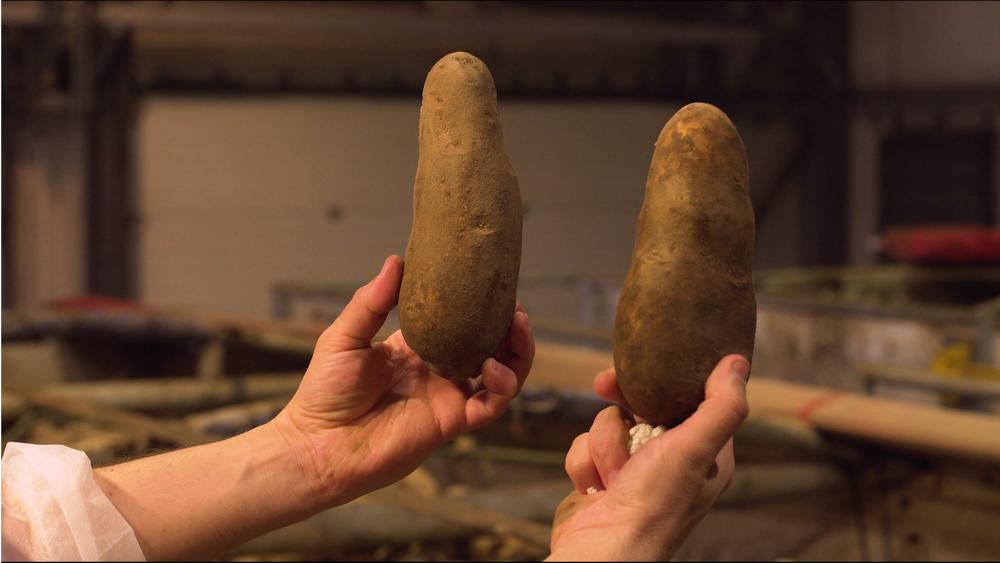 Zemiaky sú väčšie a dlhšie, aké si človek bežne kúpi v supermarkete