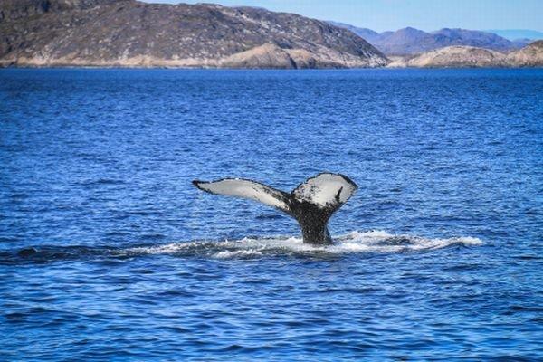 Na severe pozorovali aj plávajúce veľryby.