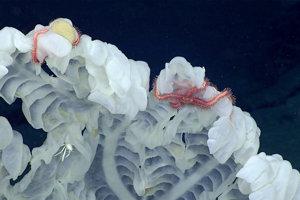 Košovka (sklená hubka) pozorovaná v hĺbke 2280 metrov. Táto poskytuje domov rôznym organizmom ako hadovkám, fúzonôžkam, rôznonožcom, mnohoštetinavcom a morskému rakovi.