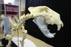 3D rekonštrukcia kostry jaskynného leva pri príležitosti prezentácie projektu stredoeurópskeho významu - Rekonštrukcia kostry jaskynného leva pomocou 3D tlače v Digitalizačnom centre Múzea SNP v Banskej Bystrici.