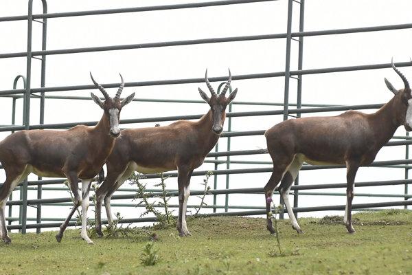 Košickej zoo sa po niekoľkých rokoch podarilo získať tri samice ohrozeného druhu antilopy – Byvolca bieločelého.