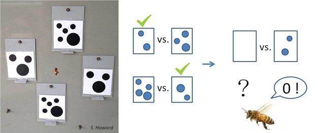 Včely najprv naučili, že odmenu dostanú, keď si vyberú obrázok s menším počtom symbolov. V ďalšom teste si vyberali obrázok, na ktorom neboli žiadne symboly. Experiment naznačuje, že tento hmyz považuje nulu za menšiu ako iné číslo.