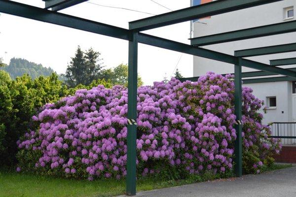V areáli SOŠ technickej rozkvitol krásny rodoendron.
