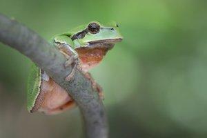 Rosnička  je najhlučnejšou i najkrajšou žabkou.