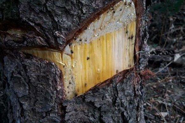 Jeden z vážne poškodených stromov.