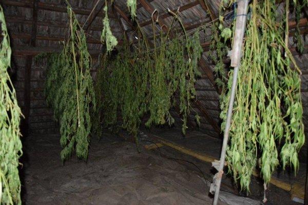 Sušiareň. Muž marihuanu pestoval aj sušil.