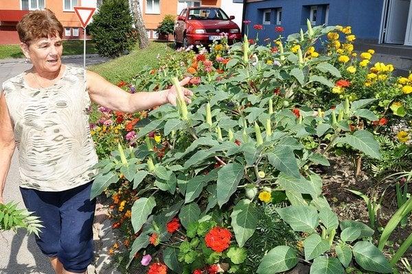 Mária Lichosytová je na svoj kvetinový záhon so smrteľne jedovatou rastlinou pyšná.