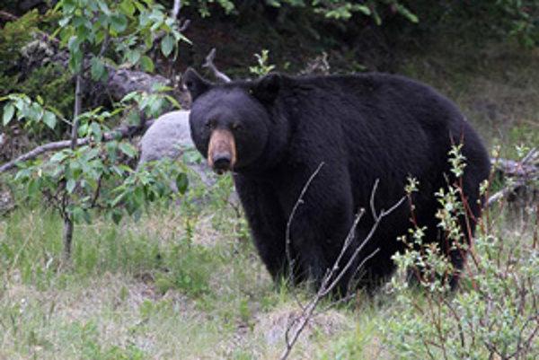 Na takéhoto medveďa môžete v kanadskom parku Jasper natrafiť bežne.