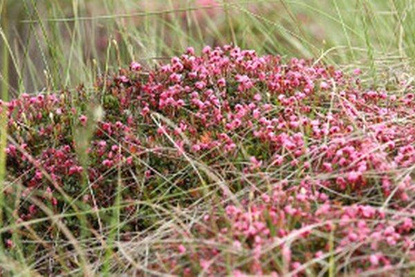 Kľukva močiarna - aj takéto vzácne rastliny uvidia turisti z chodníka.