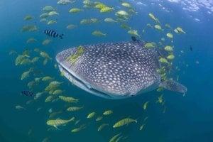 Žralok veľrybí pri tanzánskom ostrove Mafia.