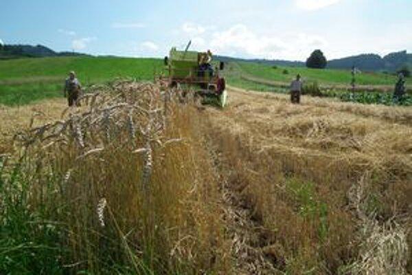 Bzinskí záhumienkari zberali z polí prvé obilniny.