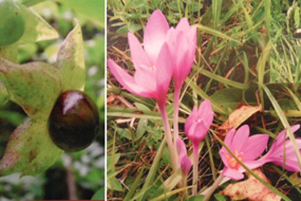Smrteľne jedovaté rastliny ľuľkovec (vľavo) a jesienka.