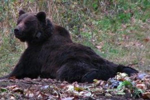 Prebudený medveď s obojkom, pomocou ktorého ochranári zviera monitorujú.