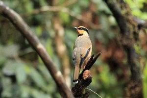 Vták chlamydochaera jefferyi, endemický druh Bornea.