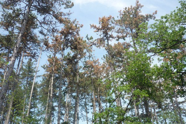 Nákaza sa šíri vďaka tomu, že stromy sú oslabené.
