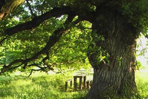 Rákoczyho dub rastie už 400 rokov.