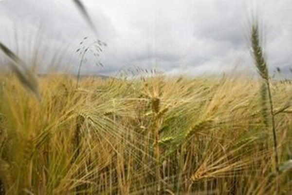 Minulý rok uškodilo úrode sucho.
