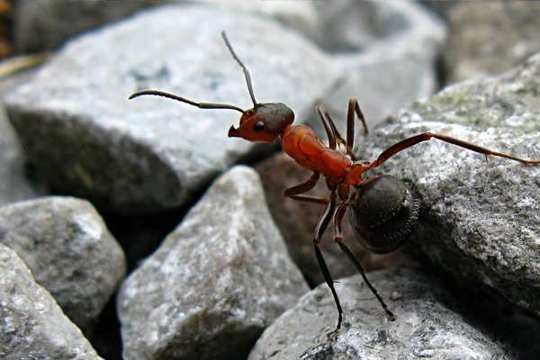 Mravec hôrny.