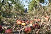 Opadané jablká v sade.